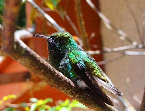 Kolibřík - akrobat z řádu svišťounů