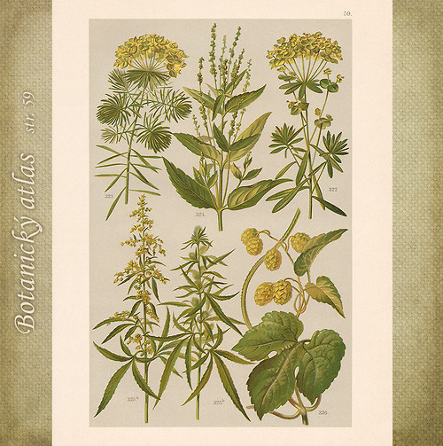 Rostliny - tab. 59 (r. 1898)