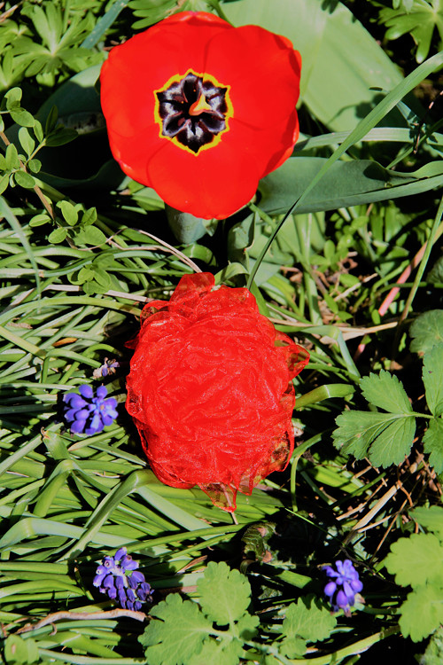 Mák anebo tulipán?