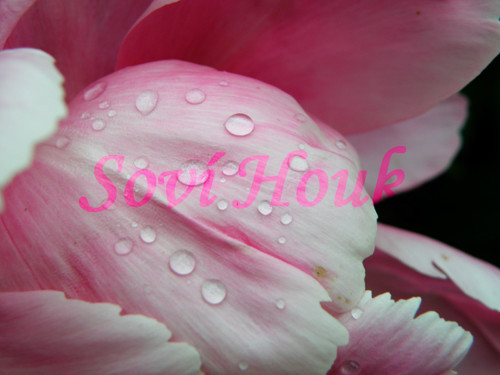 Rododendron po dešti