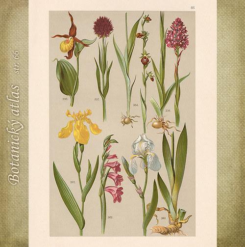 Rostliny - tab. 66 (r. 1898)