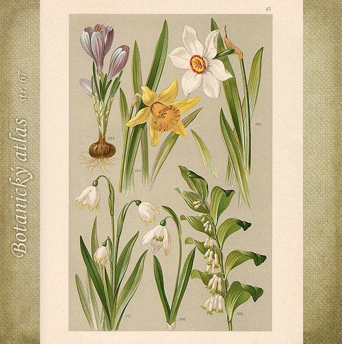 Rostliny - tab. 67 (r.1898)