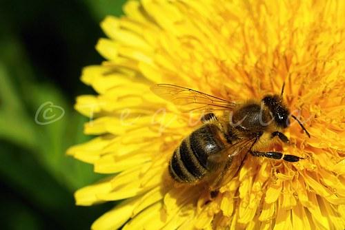 El oro y la miel (Zlato a med)