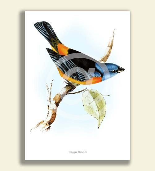 Tisk na grafickém papíře A4 - TANAGRA DARWINI
