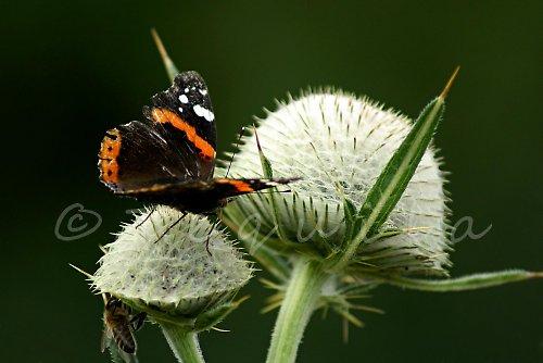 Motýlí fakír