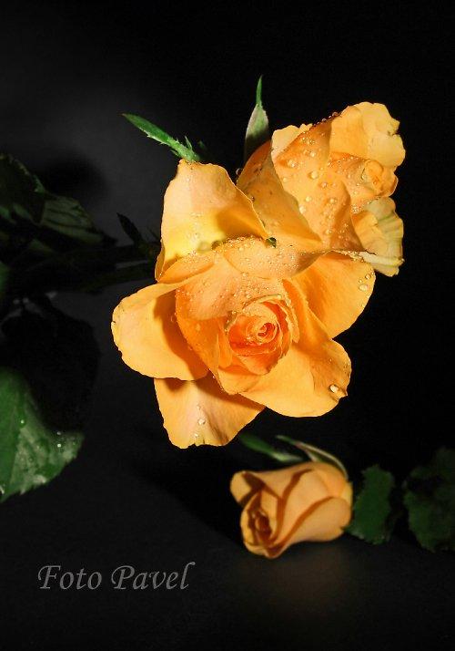 ... ze série Čajové růže
