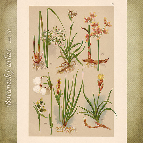Rostliny - tab. 70 (r.1898)