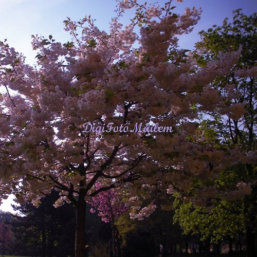 Strom v květu II