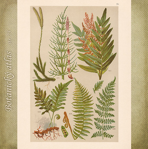 Rostliny - tab. 75 (r. 1898)