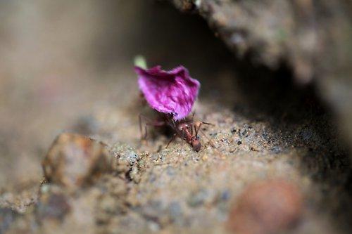 Mravenec rodu Atta
