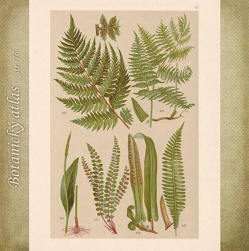 Rostliny - tab. 76 (r. 1898)