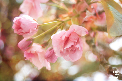 Sakura II - autorská fotografie, Giclée