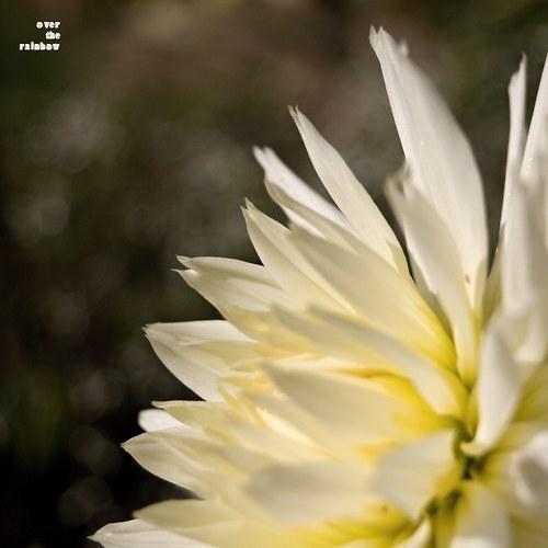 Chryzantéma - autorská fotografie, Giclée