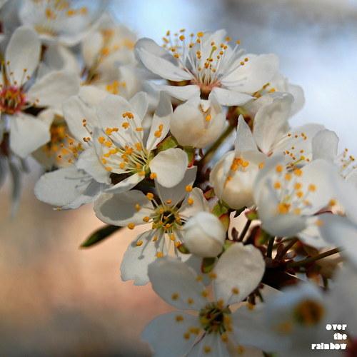 Jaro voní po třešních - autorská fotografie,Giclée
