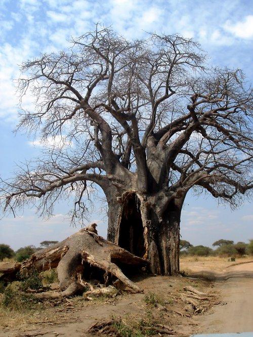Stařičký baobab
