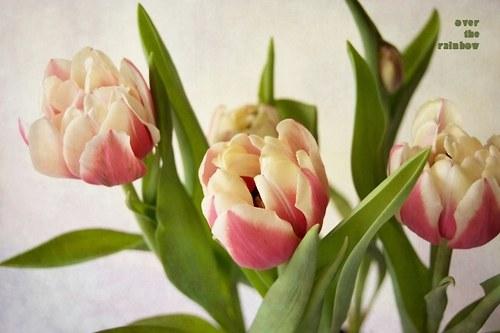 Tulips I-autorská fotografie, Giclée