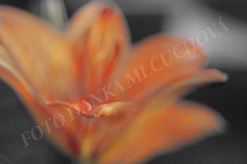 Oranžová krása