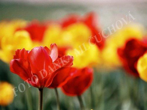 tulipán..