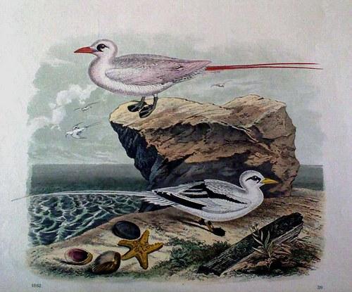 Mořští ptáci - litografie 19. století