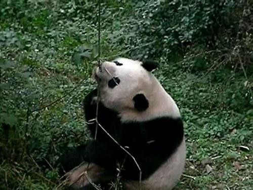 Panda Amanda