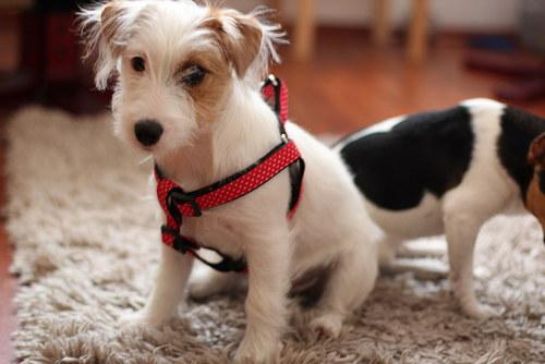 Postroj pro psí slečny