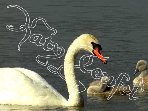 Labuť na jezeře s mláďaty